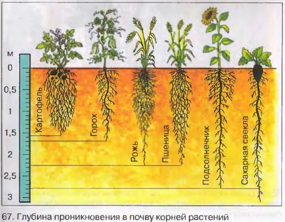 Доклад условия произрастания корней 25