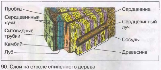 Строение стебля в рисунках