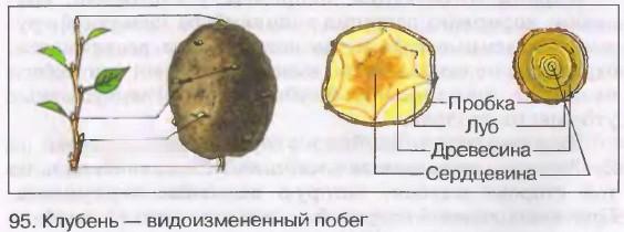Сравнение поперечного среза стебля и клубня у картофеля