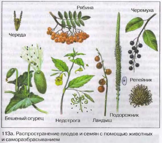 способы распространения семян и плодов у растений