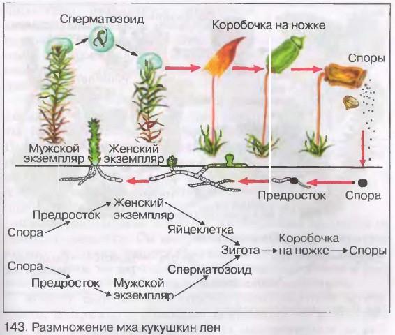 Подвижные сперматозоиды в растениях