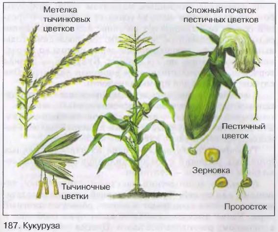 кукуруза схемы переработки